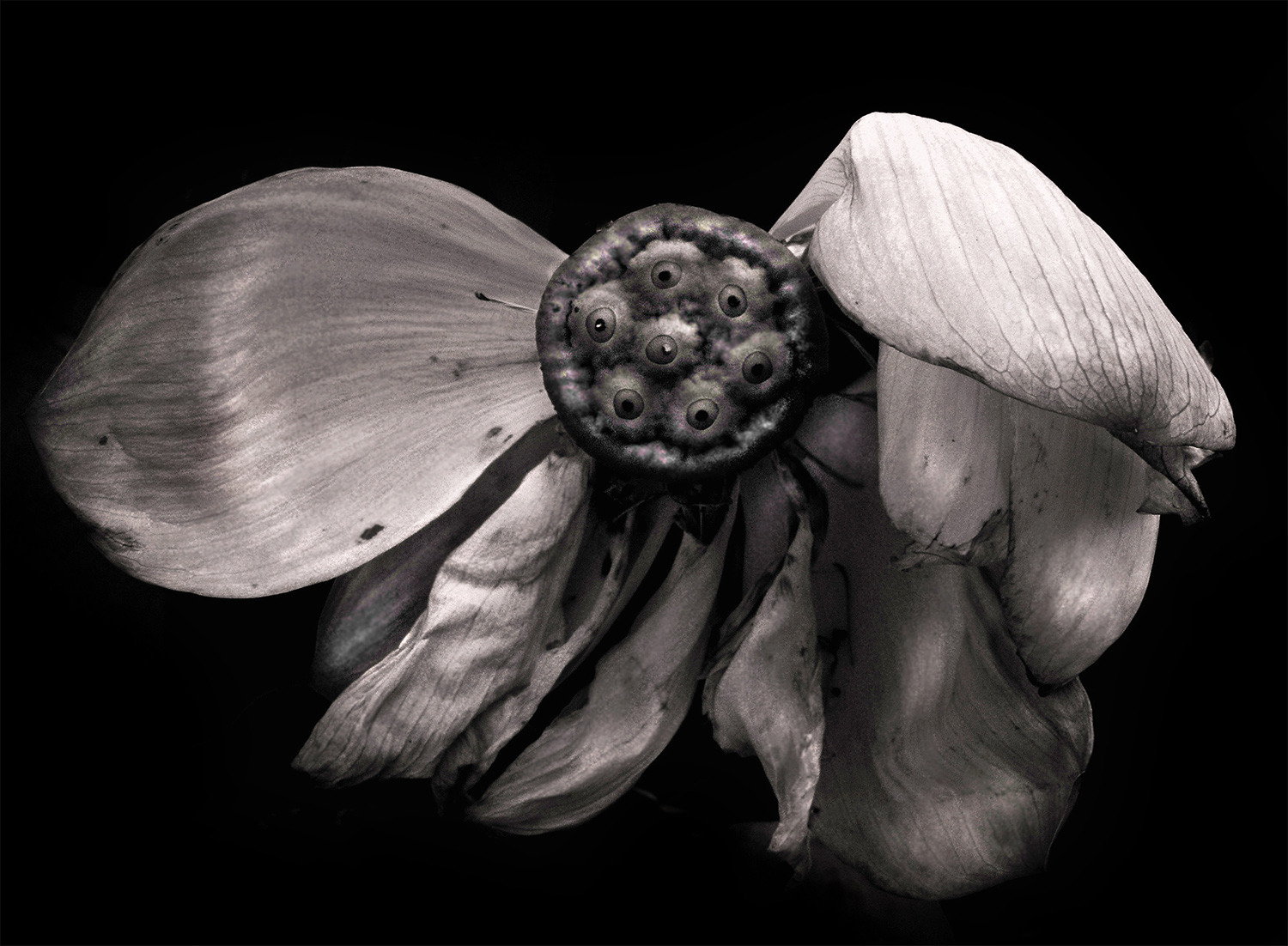 95. fading lotus (at the visitors center), by k. bos