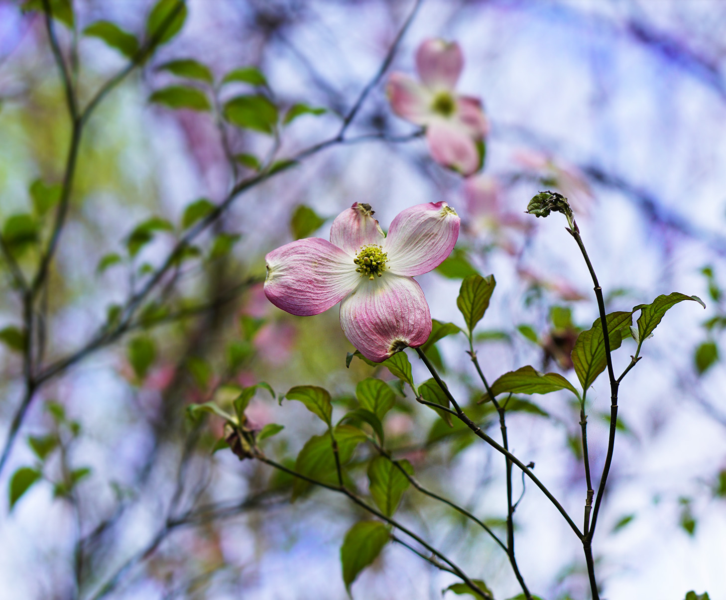 88. dogwood paints the sky, by k. bos