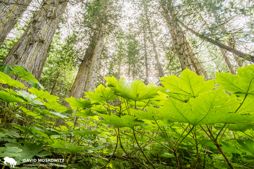 Ancient inland rainforest on the eastern slope of the Northern Cariboo Mountains. A rare bright spot in protection of low elevation forests in the region, this forest was slotted to be logged until locals took action and forced the province to set it aside.