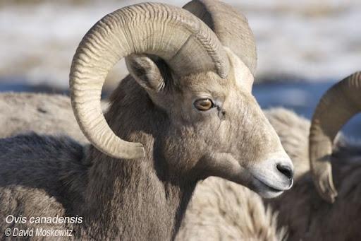 Bighorn Sheep Ram. Clemens Mountain, East slope Washington Cascades.