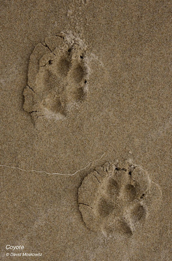 Coyote tracks, front (bellow) and hind (above). Oregon Coast.
