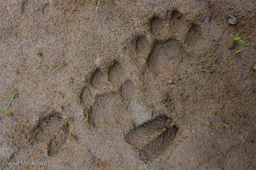 Mountain Lion and Black-tailed Deer tracks in mud. Skagit River, Washington.