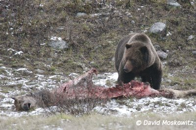 Grizzly Bear on Elk carcass. North Fork Flathead River, northwestern Montana.
