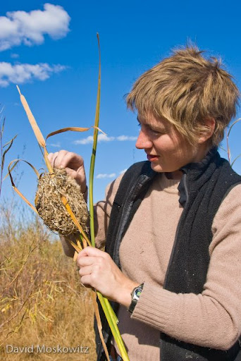 Naturalist Emily Gibson inspects a marsh wren nest she discovered. Potholes, WA