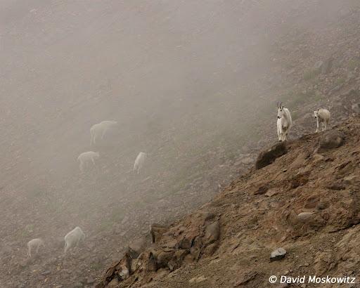 Mountain goats in mist. Goat Rocks Wilderness, Washington Cascades.