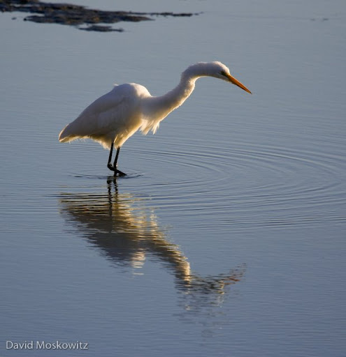 Great Egret. Bolinas Lagoon, Northern California.