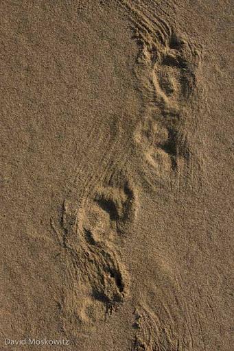 Porcupine, fast walk track pattern. Umpqua Dunes, Oregon Coast