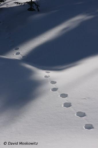 Canada lynx, walking trail wending through fresh snow. North Cascades, Washington