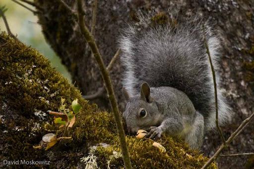 Western Grey Squirrel feeding on acorns in an oak tree. Klamath Mountains. Southwestern Oregon