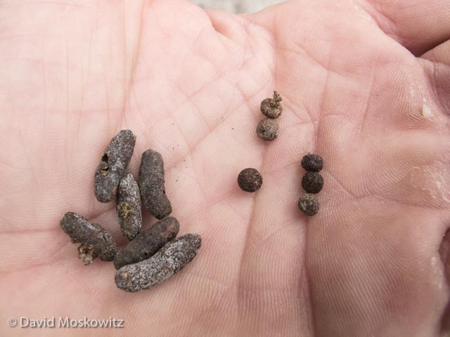 Scat from a bushytailed woodrat (left, Neotoma cinerea) and a pika (Ochotona princeps) were both discovered in a large talus field.