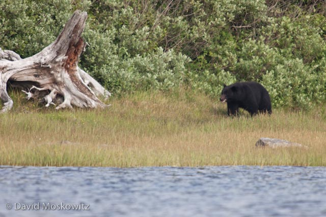 We watched this randy male black bear following a smaller female bear earnestly, stopping only to rub vigorous on a large drift wood log, a behavior which increases during the breeding season.