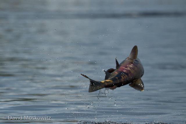 Jumping chum salmon are a common sight in the still waters close to fresh water streams at the moment