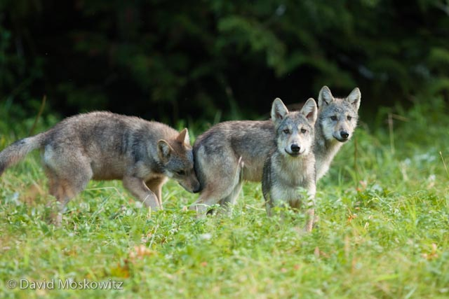 Three curious wolf pups in a wet meadow.