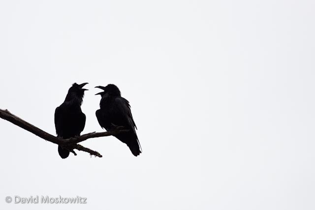 Two ravens discussing the morning's events.Learn more about my project on Wolves in the Pacific Northwest!