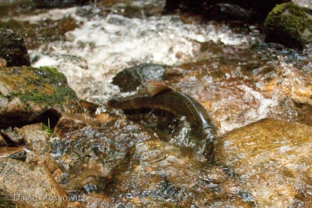 Chum salmon swimming upstream.
