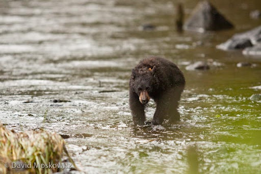 A young black bear makes its way across a coastal stream in the Great Bear Rainforest.