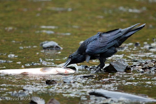 A raven pecks out the eye of a recently expired pink salmon in a shallow stream on the British Columbia coast.