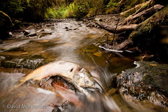 Spawned out chum salmon in a small stream in the Great Bear Rainforest.