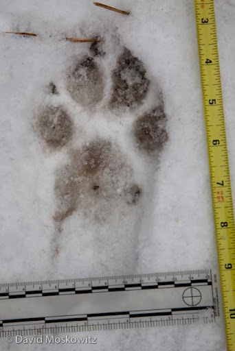 Front track of an adult Wisconsin wolf.
