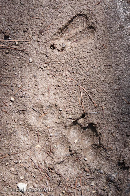 What species (in regards to the lower tracks)? The front and hind foot of a wolf (above are the track of a whitetailed deer).