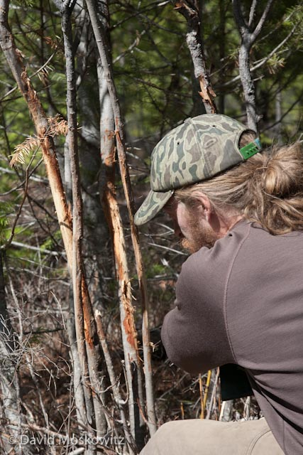 What happened to these shrubs? Tim Nelson inspects the work of a buck deer which left these marks on a serviceberry shrub with its antlers the previous fall, a marking behavior associated with courtship and breeding activities.