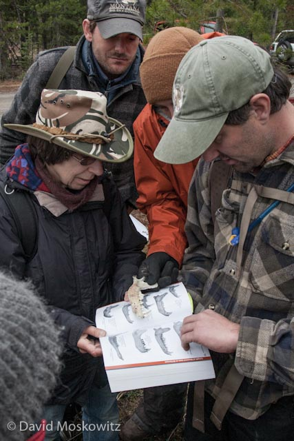 Mark and Jenn Wolfe discuss one of the harder questions on the evaluation, the identity of a jawbone found in the field–in this case a wolf! Mandibles were not in short supply, and the striped skunk and black bear jawbone were also questions on the Evaluation.
