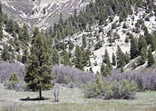 Mule deer resting in the shade of a Douglas fir during the midday heat.