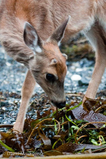 Black-tailed deer feeding on seaweed on island in Clayoquot Sound.