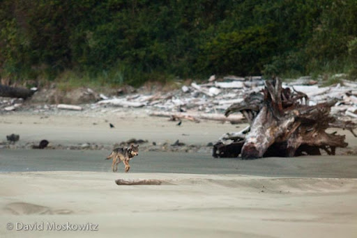 A gray wolf trots along the beach early in the morning with ravens in the background. West Coast, Vancouver Island.