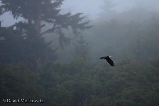 Bald eagle above a foggy forest.