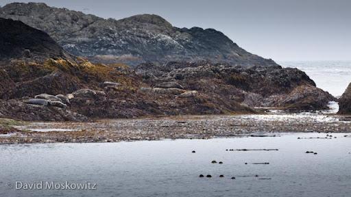 Harbor seals lounging at low tide.