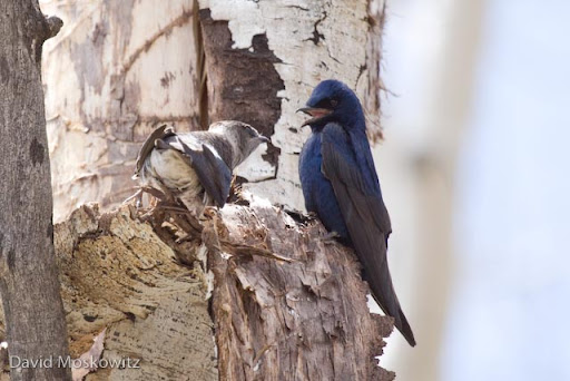 Female and male Purple Martins courting close to their nest cavity.