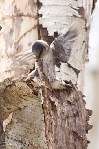 Female collecting dead aspen bark to line her nest cavity.