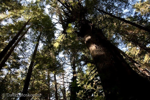 Large Sitka spruce in ancient forest on island in the Sound.