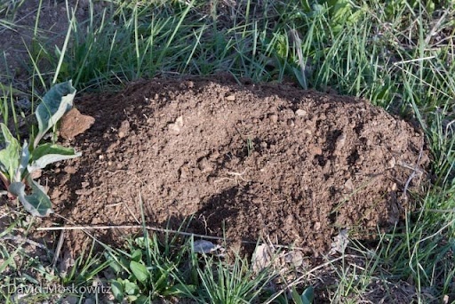 The completed throw mound with the hole plugged at the base of it. Throw mounds are produced in the process of creating underground tunnels the pocket gopher uses for accessing food (roots and vegetation), as well as sleeping chambers, food storage spaces, and latrines.
