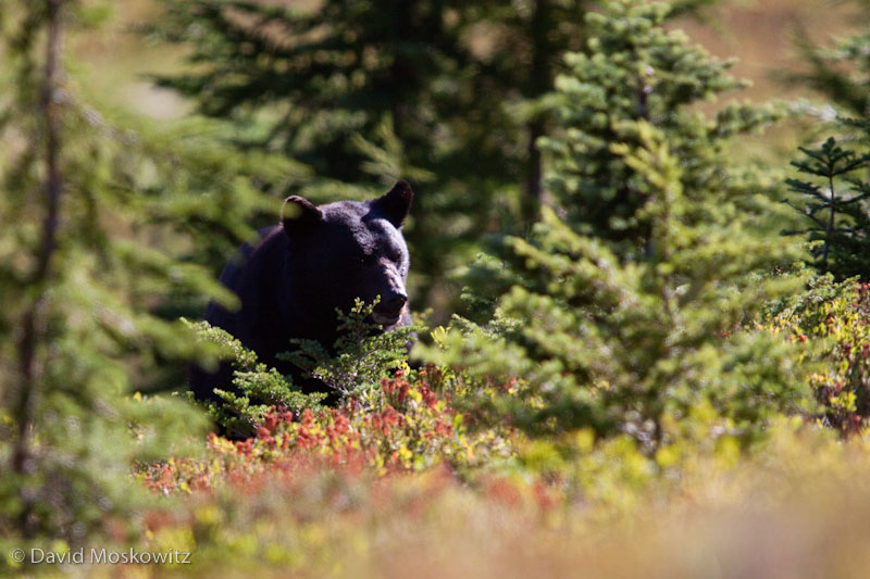 Black Bear feeding on huckleberries. East of Heart Lake, Olympic National Park