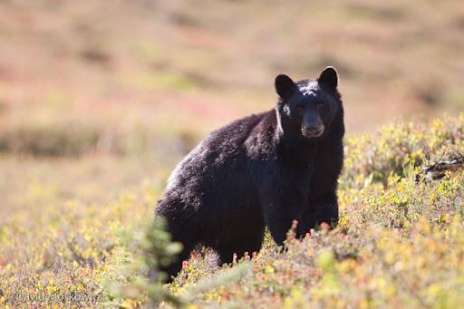 Black bear.Olympic National Park, Washington Wilderness, North Cascades, Washington
