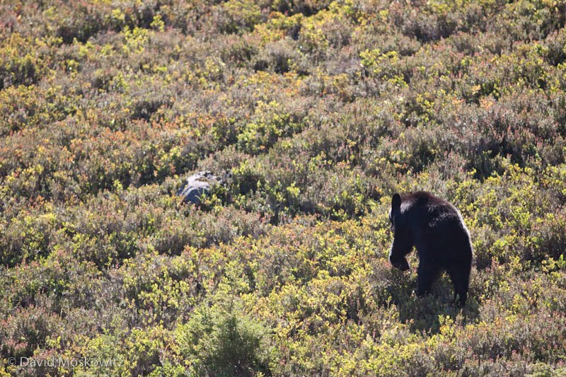 Black bear, Olympic National Park.
