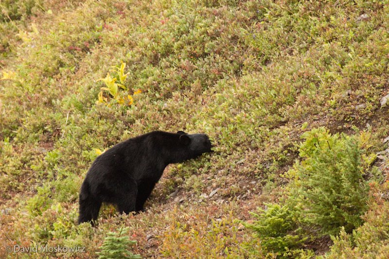Black bear, feeding on huckleberries. Olympic National Park.