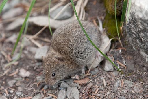 Western heather vole (Phenacomys intermedius). Olympic National Park, Washington.