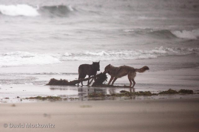 Guess the beach brings out the playful side of more than just juvenial people. Here two yearling wolves play with washed up seaweed on an island in Clayoquot Sound.