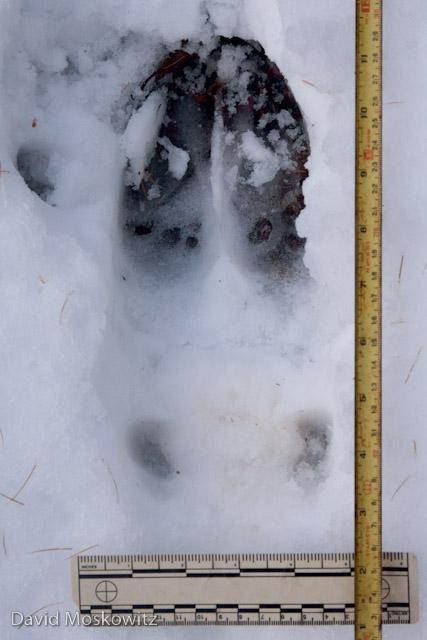 Moose (Alces alces)hind track. Northern Rockies, Montana.