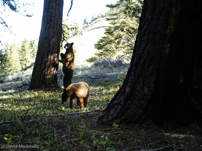 Female and cub black bears inspecting a well traveled game trail.