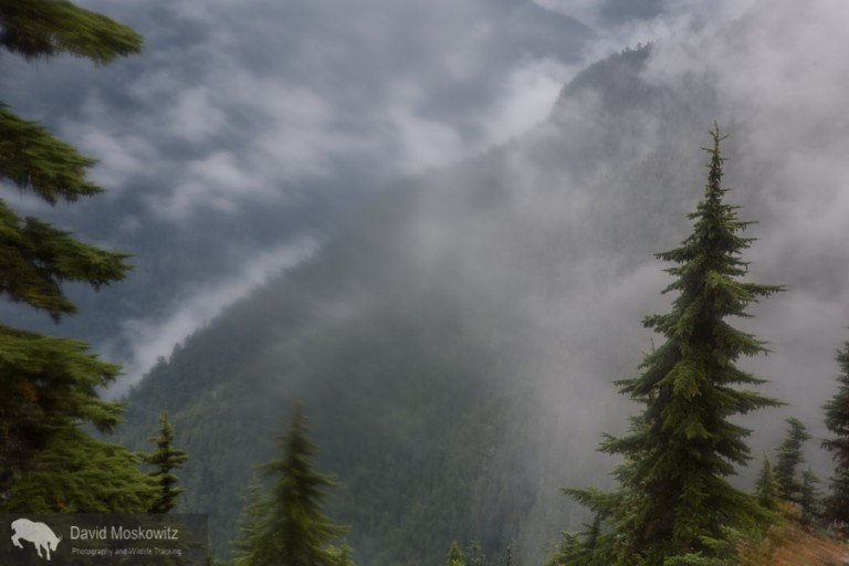 Sections of forests on the western slope of the North Cascades get enough precipitation to qualify as temperate rainforest. Only 10,000 years ago these slopes likely appeared much like the higher elevations do now, having just been released from retreating glaicers which filled the mountains and flowed down into the ocean. Climate models predict these mountains to get warmer and wetter in the decades to come. Glaciers will retreat and forests will advance unslope in an ongoing advance of forests through these mountains which began millenia ago.