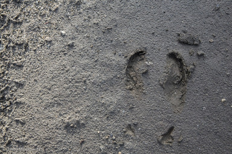 Numerous sets of fresh caribou tracks in the area told me I was in the right spot. Pictured is the hind foot of a bull caribou. Caribou are the only native North American hoofed mammal to regularly show dewclaws (the marks behind the main cleaves, feral pigs found in many places, though none in caribou habitat, also often register their dewclaws), though they show up more regularly in the fronts than hinds.