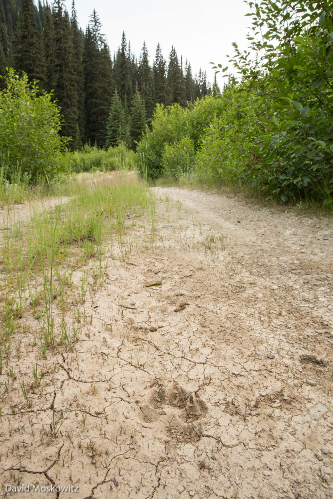 Wolf tracks along the road running alongside the power line corridor. The province of British Columbia has carried out extensive predator control in this area, killing wolves from three different packs in an attempt to protect the remaining 13 caribou in the South Selkirks herd. These predator control efforts have been extremely contentious amongst various groups involved in caribou conservation.