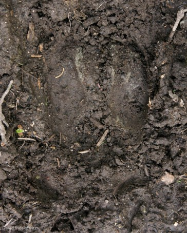 Tracks of one of the members of the South Selkirks herd which travel back and forth across the USA-Canada border.