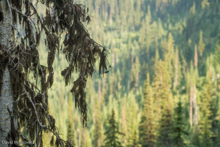 Black tree lichen on a subalpine fir, the chief food item in the winter diet of mountain caribou.
