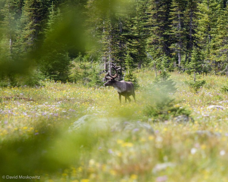 The survival of mountain caribou is not at all assured across much of their range. In the weeks and months to come I will continue to be researching this topic, planning future trips back to caribou country, collaborating with conservation organizations to help get the word out about this pressing conservation topic. Stay tuned!