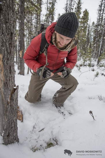 Marcus Reynerson inspecting where a caribou dug through the shallow fall snow to access forage, in this case terrestrial lichens.